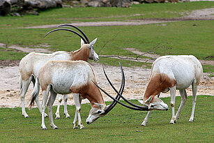 Scimitar-horned oryx fighting