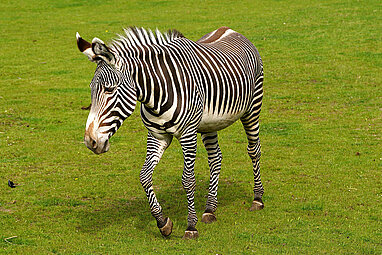 Grevy's zebra on the kiwara savnnah
