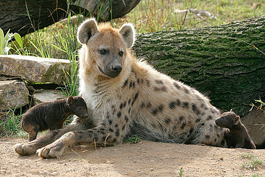 Spotted hyena with her young