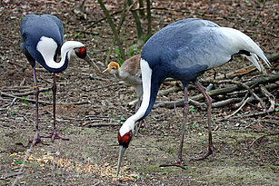 White-naped cranes eating