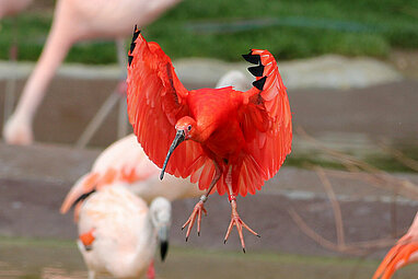 Scarlet ibis and flamingos
