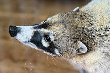 White-nosed coati portrait