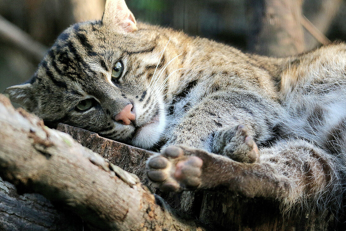 The Fishing Cat Is Waiting For You At Zoo Leipzig