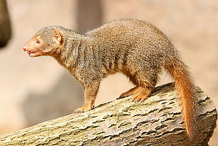 Common dwarf mongoose from the side view
