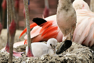 Chilean flamingo with its young