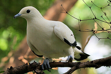 Pied imperial pigeon sitting on the tree