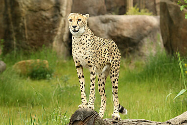 Southern cheetah on the kiwara kopje