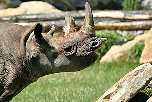 Eastern black rhinoceros' head from the side