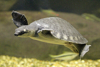 Pig-nosed turtle underwater