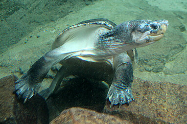 swimming Malaysian giant turtle