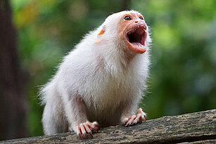 Silvery marmoset roaring