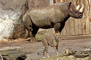 Southern cheetah and a rhinoceros