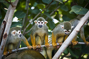 Common squirrel monkeys sitting on a bough