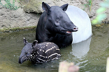 Malayan tapir with his baby in the water