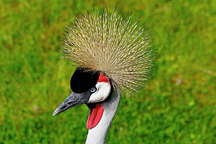 head of the African crowned crane