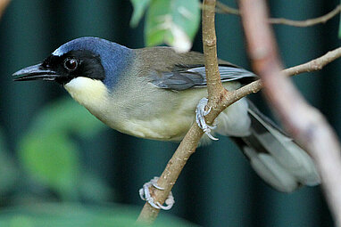 Blue crowned laughingthrush sitting on a bough