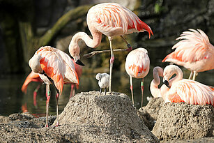 a sharp Chilean flamingos