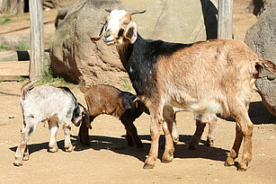 Damara Goat with her youngs