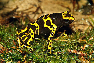 Yellow banded poisen dart frog