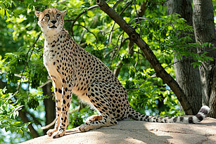 Southern cheetah sitting on a stone