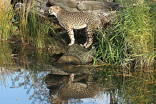 Southern cheetah standing next to the water