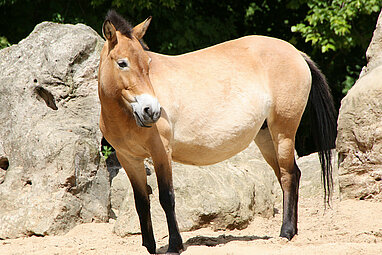 Przewalski's wild horse from the side