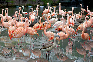 sharp of Chilean flamingos