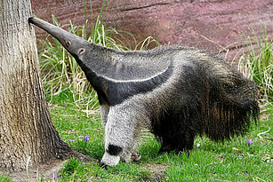 Giant anteater sniffing on the tree
