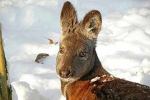 Siberian musk deer in the snow