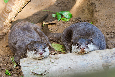 two Oriental small-clawed otter