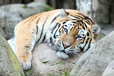 amur tiger laying on a stone