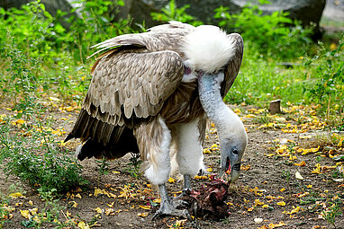 Griffon vulture eating