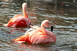 two swimming Chilean flamingos