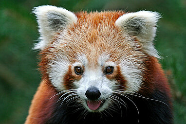 face of the red panda