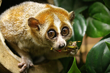 Pygmy slow loris eating