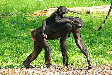 Pygmy chimpanzee with her baby on the back