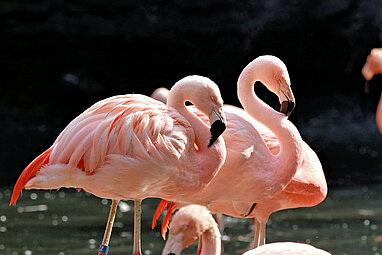 [Translate to English:] Chileflamingos in der Flamingolagune