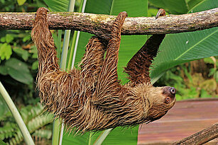 Linne's two-toed sloth climbing
